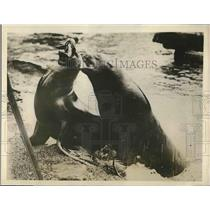 1907 Press Photo Sea Lion at London Zoological Gardens waited to be fed,