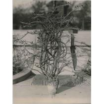 1920 Press Photo Picture Of Crown Of Thorne, Euphorbia Splendens In Washington