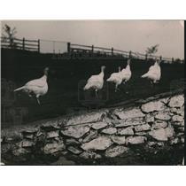 1920 Press Photo five turkeys on a farm