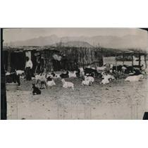 1919 Press Photo A flock of goats at a stockade on a farm