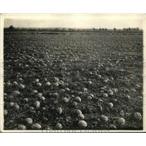 1919 Press Photo Beautiful Field of Canteloupes Waiting to Be Harvested
