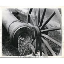 1943 Press Photo Carolina Wren's Nest In Civil War Cannon Sign Of Peace
