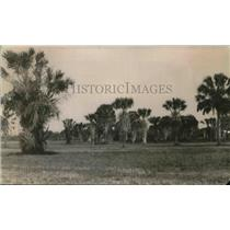 1920 Press Photo Palm trees in Raft Irrigation