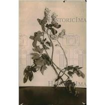 1918 Press Photo A close up of Bleeding hearts flowering plant