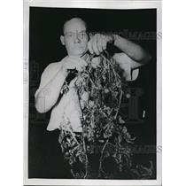 1945 Press Photo Earl Painter Displays Pomato (Tomato/Potato) Hybrid Plant