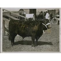 1931 Press Photo Mr Brent's Devon bull, Clampit Goldmine 3rd, champion
