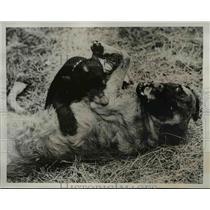 1939 Press Photo Freddie, a cub bear, playing with Greta, the large dog