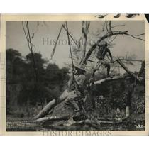 """1930 Press Photo """"Trader Horn"""" crocodile filming MGM picture in Africa"""