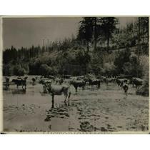 1920 Press Photo Cattle In A Water Hole
