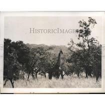 1938 Press Photo Aristocratic Giraffe in wilds of Africa on alert