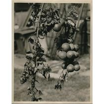 1930 Press Photo Pear Tree