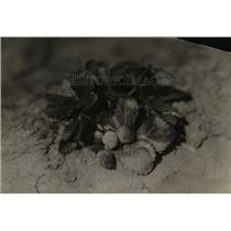 1920 Press Photo Shaw Berries - nef15726