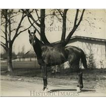 1921 Press Photo Racehorse Muscalbrye at a track stable area - net28438