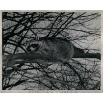 1949 Press Photo Raccoons - RRX55159