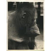 1940 Press Photo Sumatran Jiggs, Mayor of New York World's Fair Jungleland