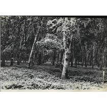 1942 Press Photo Rubber trees, United States Rubber Company plantation, Sumatra