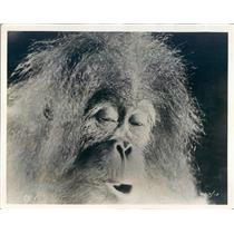 1931 Press Photo Monkey Actor in Paramount Film Rango - ner47827