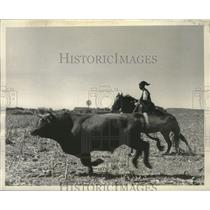 1954 Press Photo Portugal, Rounding up an irritable bull is an exciting affair