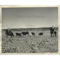 1954 Press Photo Portugal - Campinos uses a vara with skilled prodding for bulls