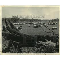 1944 Press Photo Sheep-raising states make war contribution - mjb94887