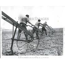 1961 Press Photo Inmates cultivating tomatoes