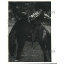 1989 Press Photo Jay Austin, Jr, Rodeo Cowboy on Horse - hcs00431