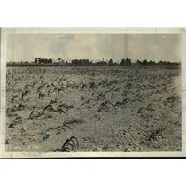1936 Press Photo Drought's toll on corn crop in southern Illinois