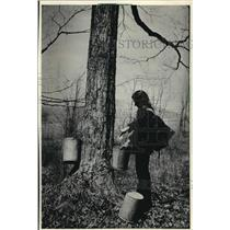 1987 Press Photo Women uses buckets to collect maple sap for making syrup