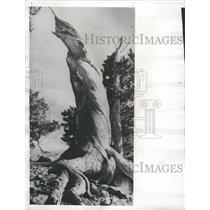 1958 Press Photo Gnarled Wood Colorado Forest - RRW45869
