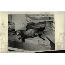 1962 Press Photo Otters - RRW70357