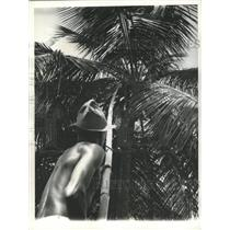 1941 Press Photo Coconut Domincan Republic Farming - RRX88825