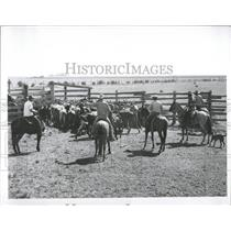 1957 Press Photo cowboys round up cattle drive - RRX99975