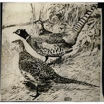 1930 Press Photo Chinese Ring Necked Pheasant - RRW71249