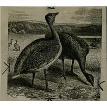 1930 Press Photo Bustard Bird Old World Australia - RRW02985