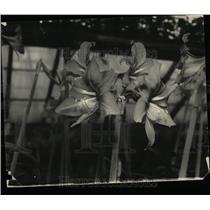 1935 Press Photo Amaryllis golden Lilly Orient flower
