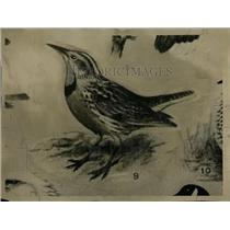 1930 Press Photo Meadowlarks Birds Animals - RRW70661