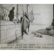 1909 Press Photo Walrus Hunting/Boat/Sailing - RRW78221