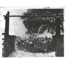 1957 Press Photo cowboys cattle corral Parker Ranch - RRX99981