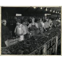 Press Photo Spinach Leafs washed trimmed packaged - RRX76155