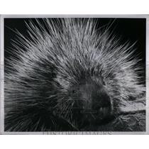 1956 Press Photo Porcupine - RRX54947