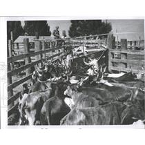 1957 Press Photo cowboys cattle Parker Brothers Ranch - RRX99985