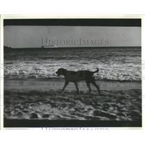 1986 Press Photo Frolicsome Dog Romps Belair Beach Harb