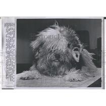 1966 Press Photo Pogo, a possum & Kim, a Peekapoo dog.