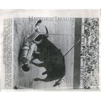 1956 Press Photo Bull Fight Portugal Spain Latin - RRR83707