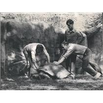 1969 Press Photo Shield Shell Bony Crown Order Reptiles