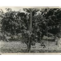 1927 Press Photo Grapes Growing on Vines - nez02694