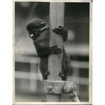 1926 Press Photo Capt Phillips Brings Back White Nosed Monkey from Belgian Congo