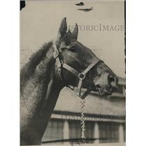 1918 Press Photo A good colt, contender Kentucky Derby