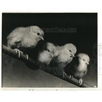 1939 Press Photo Three Cute Baby Chicks Lined Up on Wooden Pole
