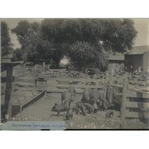1923 Press Photo Pigs on Farm